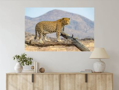 The Leopard in Namibia