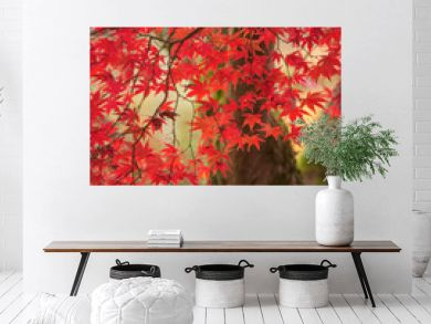 Beautiful colorful vibrant red and yellow Japanese Maple trees in Autumn Fall forest woodland landscape detail in English countryside