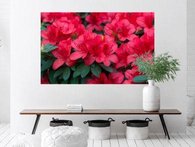 spring blooming lush fresh rhododendron azalea flowers