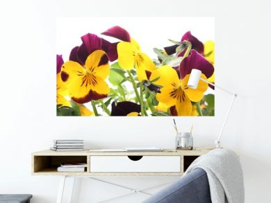 Close-up of colorful pansy flowers on white background.