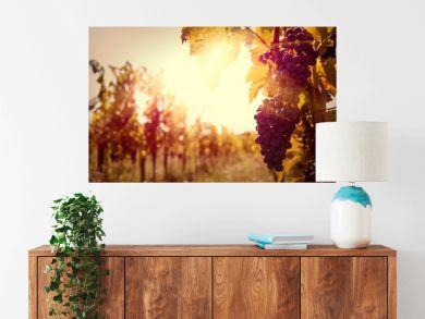 Vineyard at sunset in autumn harvest.