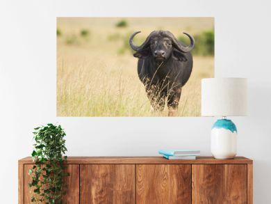 female cape buffalo