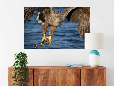 White-tailed eagle with freshly caught fish