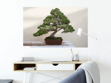 Beautiful pine tree bonsai
