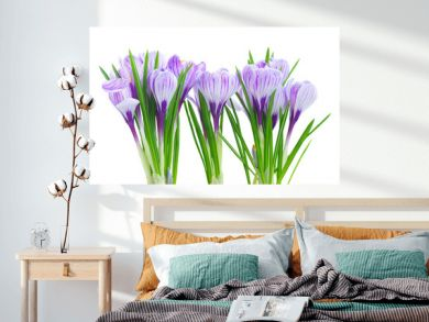 Violet crocus flowers isolated on white background