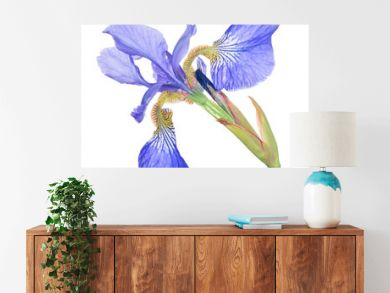 blue iris one bloom isolated on white