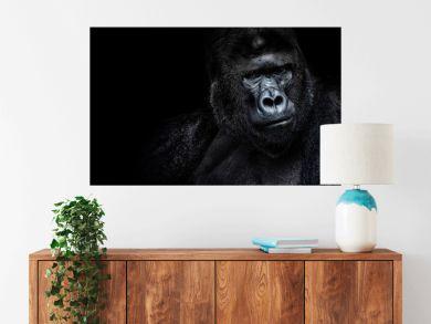 Male gorilla on black background, Beautiful Portrait of a Gorilla. severe silverback, anthropoid ape