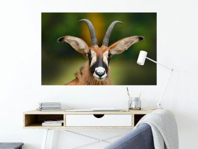 Roan antelope, Hippotragus equinus,savanna antelope found in West, Central, East and Southern Africa. Detail portrait of antelope, head with big ears and antlers. Wildlife in Africa.
