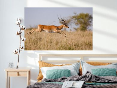 A male impala leaps outstretched in mid air over grassland in Kenya's Masai mara