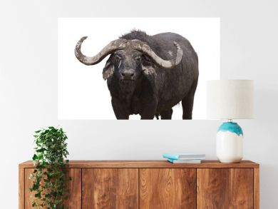 African buffalo looking in camera , is isolated on white background