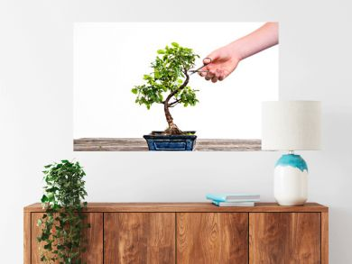 sagaretie bonsai in blue bowl on wooden board with gardeners hand