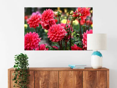 Group pink dahlias./In a flower bed a considerable quantity of flowers dahlias with petals in various tones of pink color.