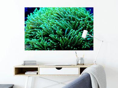 Euphyllia Torch lps coral in reef aquarium