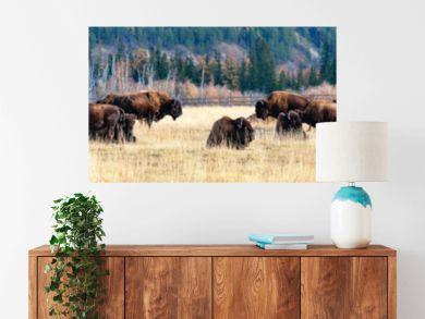 Panorama. a herd of bison in the nursery Ust-Buotama in Lena Pillars Natural Park, Yakutia, Russia