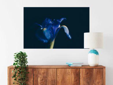 Blue iris flower on dark faded background - studio shot