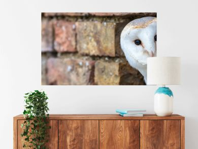 Barn Owl Looking Out of a Hole in a Wall Panorama