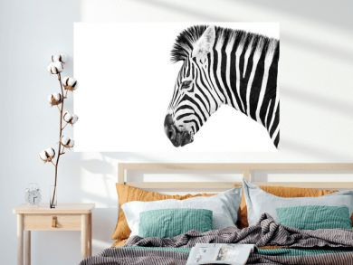 Burchells Zebra on a white background