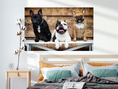 group of dogs breed french bulldog together
