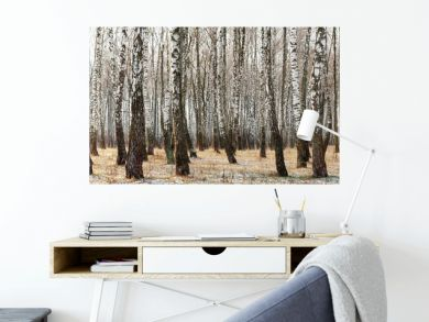 Panorama of a birch grove in winter. slender white trees