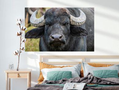 black water buffalo in the fields