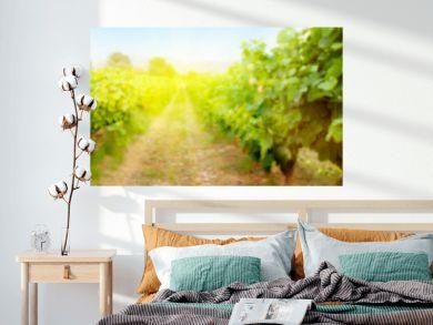 Blurred backdrop with sunny landscape of vineyard