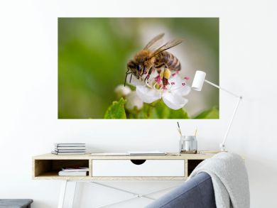 Close-up of a heavily loaded bee on a white flower on a sunny meadow