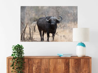 Cape buffalo, African buffalo in the wilderness