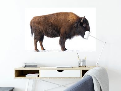 bison stands in the snow isolated on a white background.
