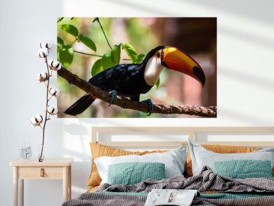Toco toucan on a tree