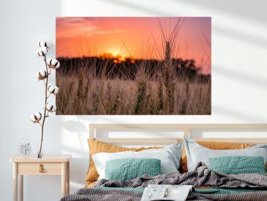 Kansas Wheat in Orange Pink Sunset