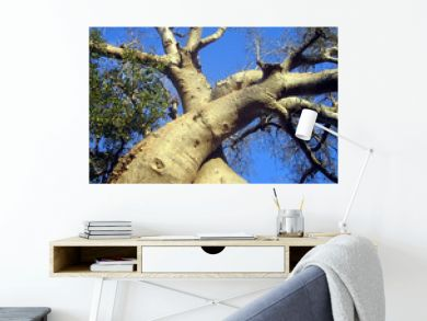 baobab zamoureux