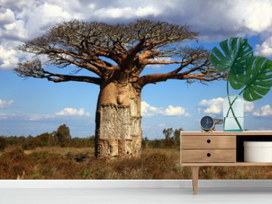 big baobab tree of Madagascar