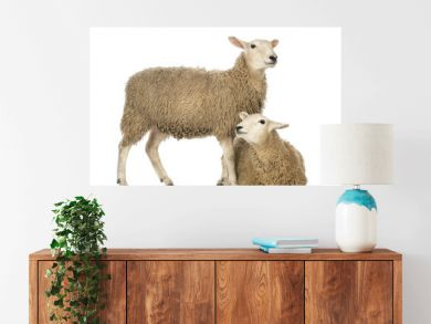 Sheep lying in front of another standing
