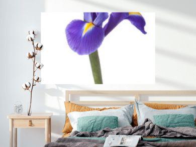 Blue iris or blueflag flower