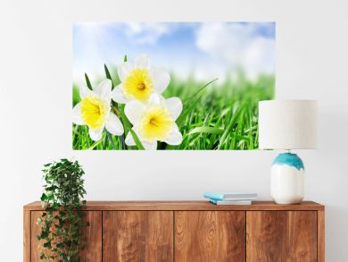 Beautiful spring flowers : -white narcissus (Daffodil).