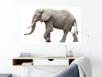 Elefant vor weißem Hintergrund