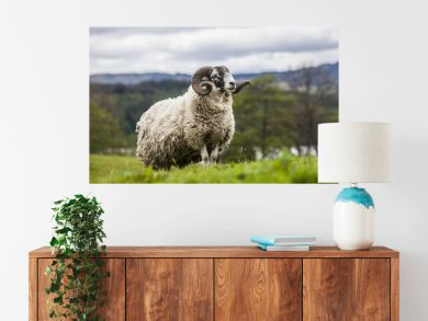 Scottish sheep - long hair and mighty horns, Scotland