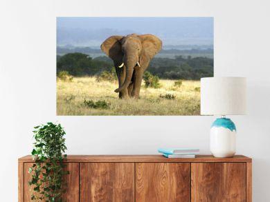 A huge elephant bull approaches in golden light