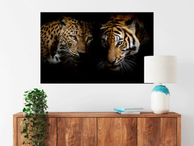 Leopard with blue eyes & Tiger isolate black background