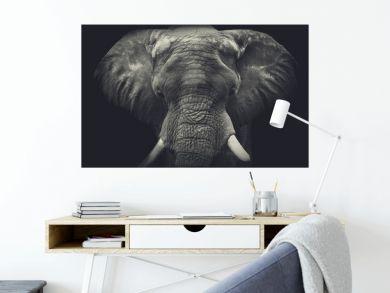 Elephant close up. Monochrome portrait