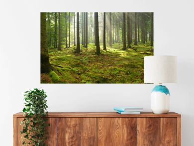 Spruce Tree Forest, Sunbeams through Fog illuminating Moss Covered Forest Floor, Creating a Mystic Atmosphere