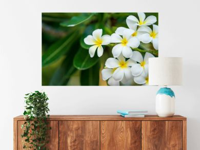 The white frangipani with leaves. 