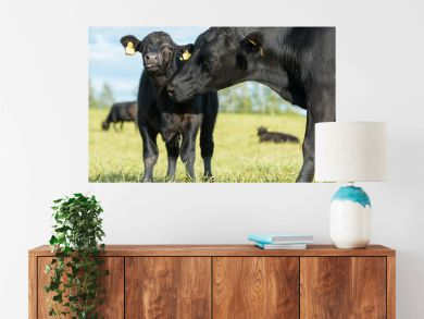 Aberdeen Angus cow and calf in pasture