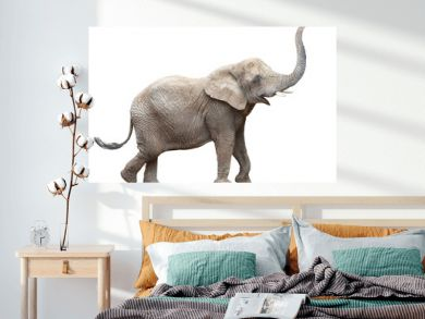 African elephant - Loxodonta africana female.  Animals isolated on white background.