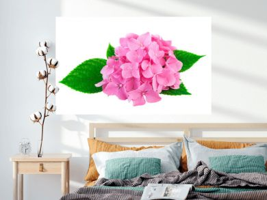 Pink flowers of hydrangea or hortensia isolated on white. Image included clipping path