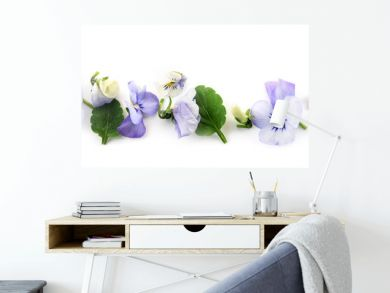 purple blue pansy flowers and leaves in a row, spring banner background in panoramic format isolated with small shadows on a white background
