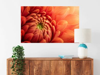 Colorful chrysanthemum flower macro shot. Chrysanthemum flower background.