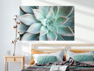 Echeveria succulent on a white background