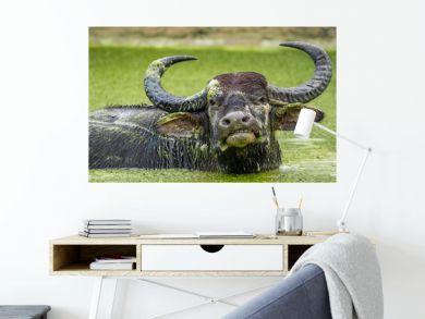 Refreshment of Water buffalo. Male water buffalo bathing in the pond in Sri Lanka. The Sri Lanka wild water buffalo (Bubalus arnee migona)