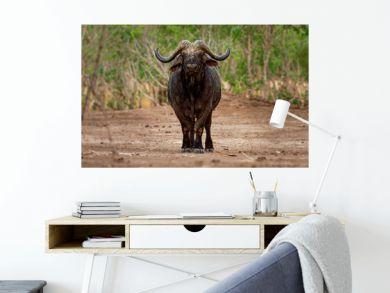 African Buffalo - Syncerus caffer or Cape buffalo is a large Sub-Saharan African bovine. Portrait in the bush in Zimbabwe